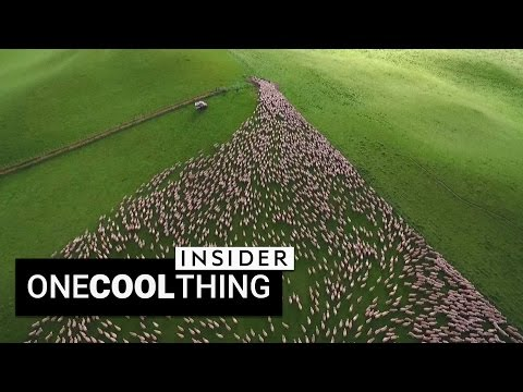 Drone footage of sheep herding is beautiful | One Cool Thing