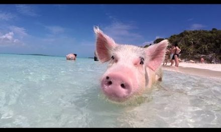 Swim with the pigs in this tropical paradise